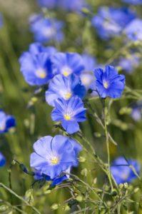 Flax fields in bloom